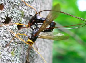 Buddle_Hymenoptera