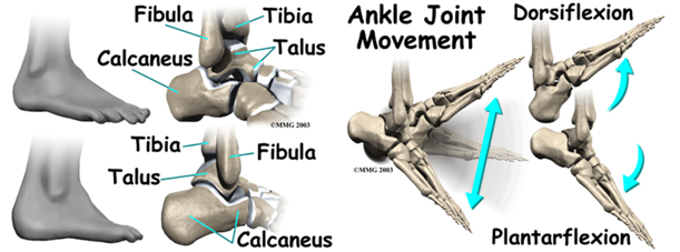 The main bones of the ankle (left) and how your ankle moves up (dorsiflexion), and down (plantarflexion) (right) Credit: eOrthopod—used with permission