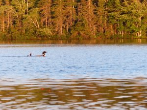 Two common loons on a lake.