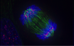 fluorescent image of cell during anaphase