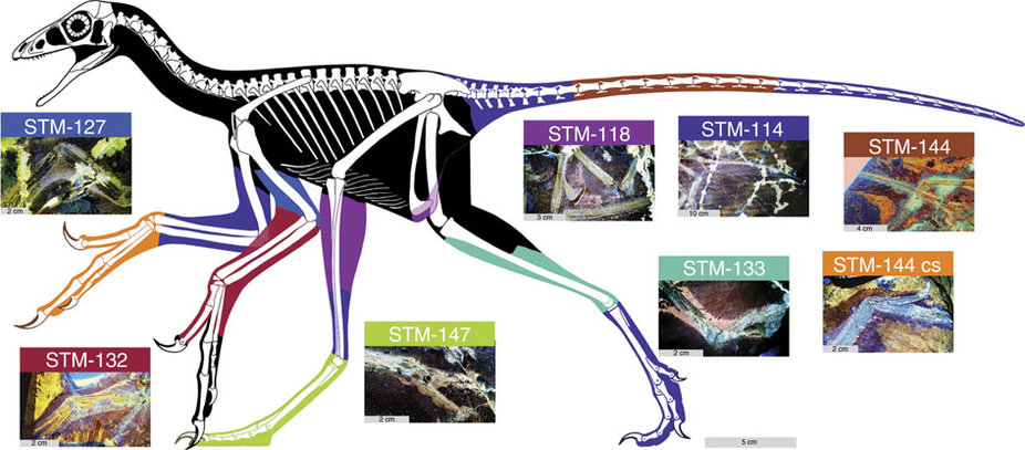 Body outline of Anchiornis reconstructed using laser-stimulated fluorescence images