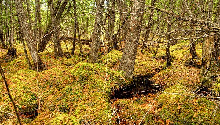 Black-Spruce-Bog_Whitemouth-River-watershed_Manitoba-by-Harvey-Sawatzky