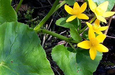 Inverness-property_Marsh_Marigold_PEI_NCC