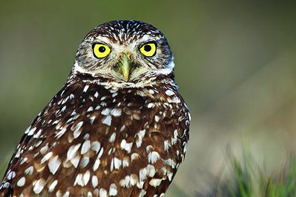 burrowing-owl-by-Chris-Lorenz