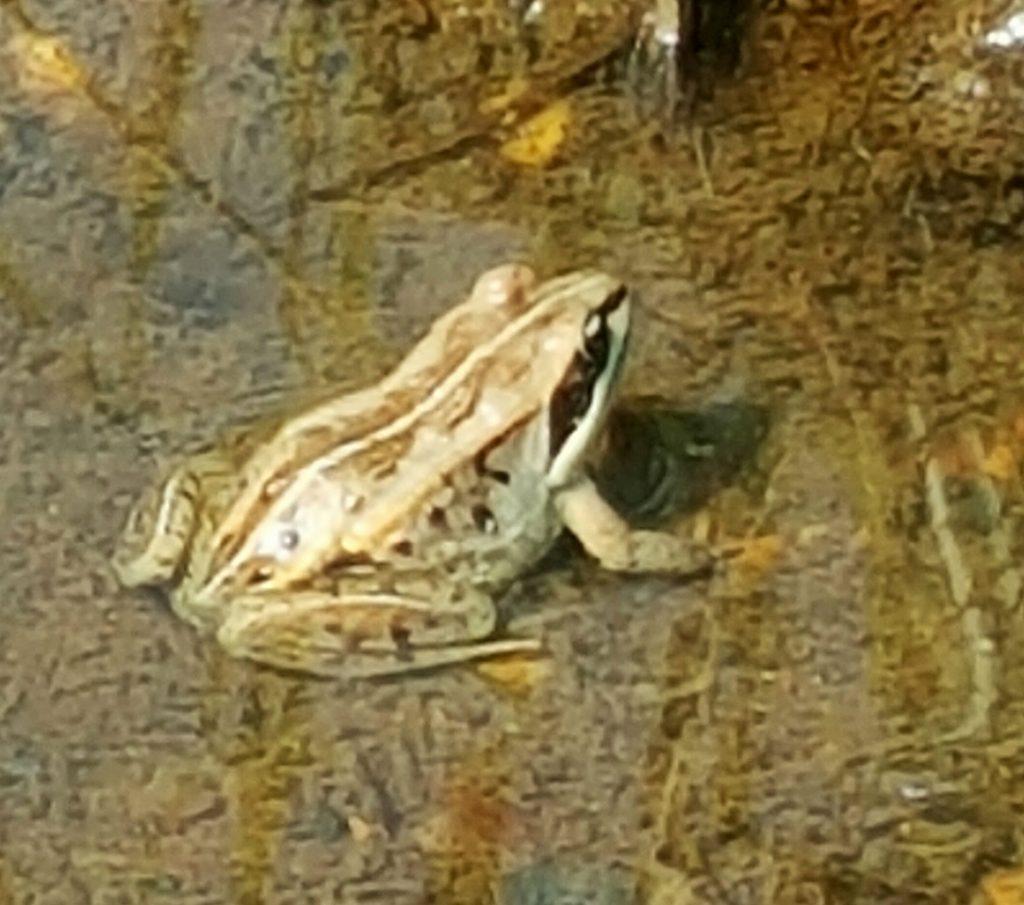 Wood-frog-CC