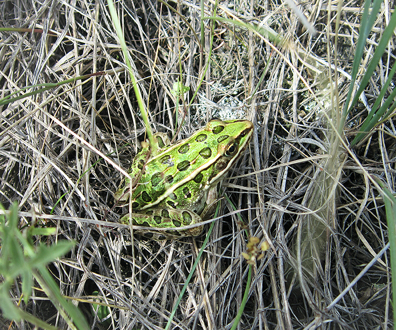 Northern-leopard-frog-NCC