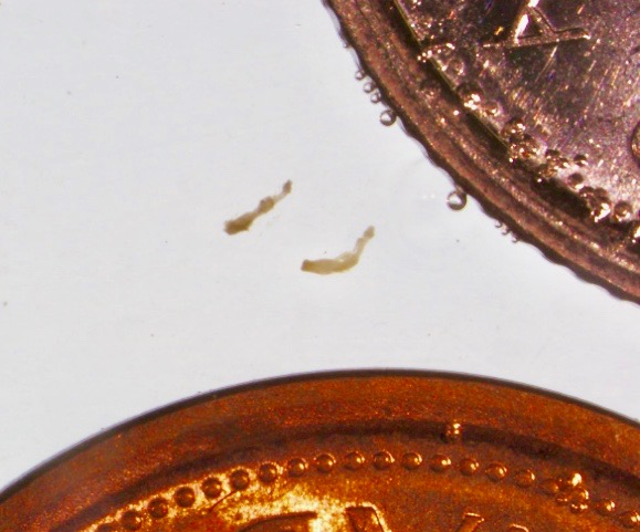 Echinococcus-spp.-vs-a-penny-and-dime