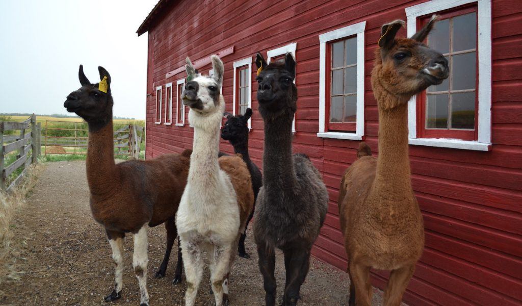 Llamas-patiently-await-treats-after-an-ultrasound-exam