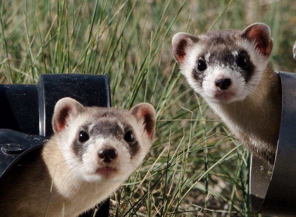 Blackfooted ferrets