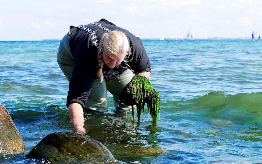 Sophie Steinhagen collecting seaweeds. Photo courtesy of Dr. Sophie Steinhagen