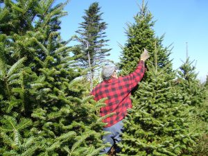 Tipping-branches-Christmas-tree-farm
