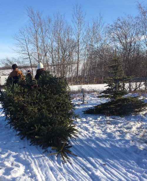 collecting-a-Christmas-tree