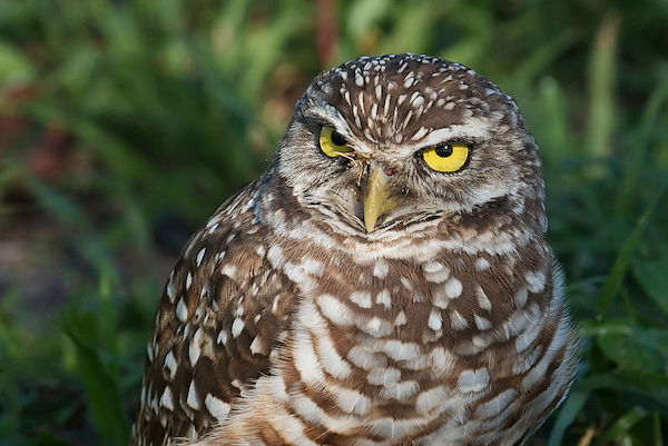 burrowing-owl-Pembroke-Pines_Photo-Dori-CC-BY-SA-3.0