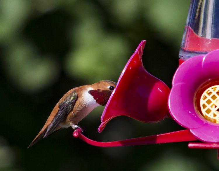 rufous-hummingbird_Tristan-Coatta