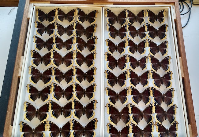 butterfly specimens at the Smithsonian Institute