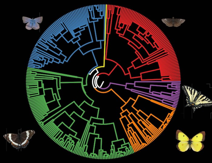 Canadian butterfly phylogenetic