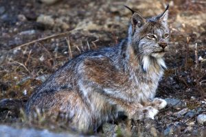 photo credit Denali National Park, U.S.N.P.S
