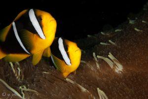 clark's-anemonefish-pair-g.-phia-wikimedia-commons