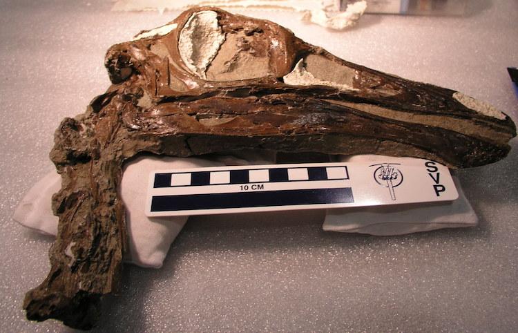 Ornithomimus edmontonicus_Royal Tyrrell Museum of Palaeontology (TMP) 95.110.01