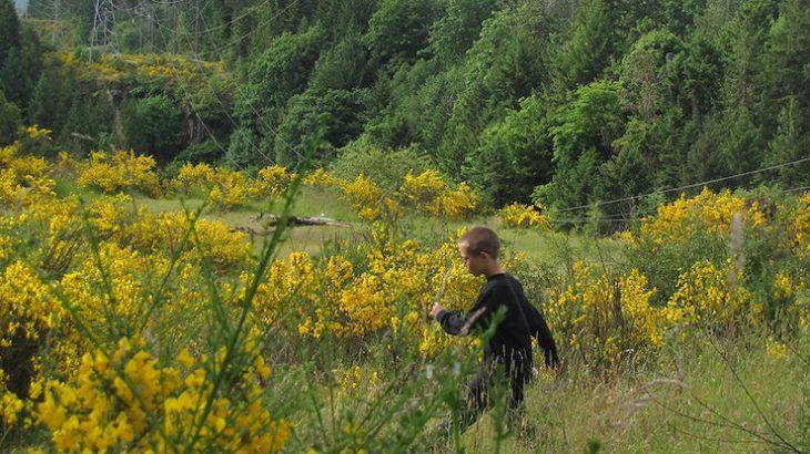 Gerry_Thomasen_CC_BY_2.0_Scotch_broom_Nanaimo
