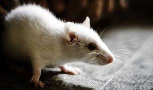 Photo_Ishan-Manjrekar_CCBY2.0_white-mouse