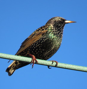 Cc-by-nc-40-Mike-Leveilleeuropean-starling