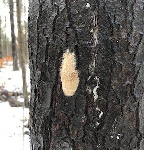 hannahdodington-cc-by-nc-40_gypsy-moth-egg-mass-on-tree