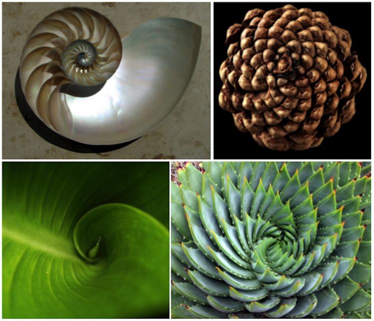 Fibonacci spirals in nature_Wikipedia, CC BY-SA 3.0; Flickr, CC BY-NC-SA 2.0; Wikipedia, CC BY 2.0; and Flickr, CC BY-NC-ND 2.0