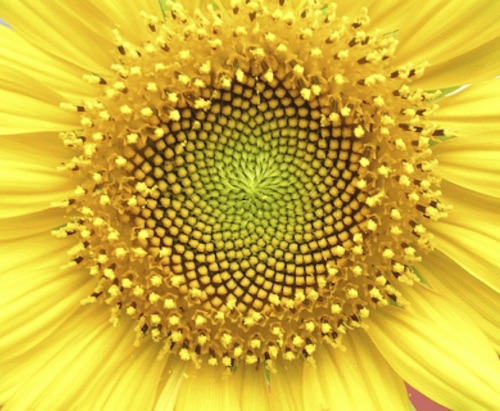 seeds in the head of a sunflower_Wikipedia CC BY-SA 2.5